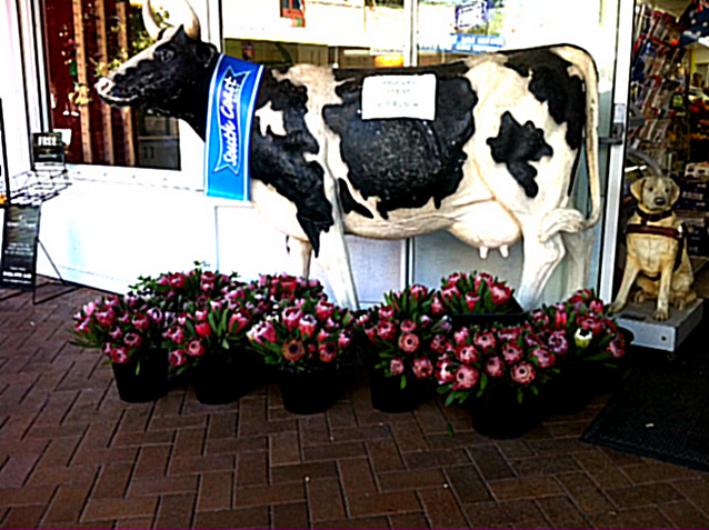 Cow With Proteas