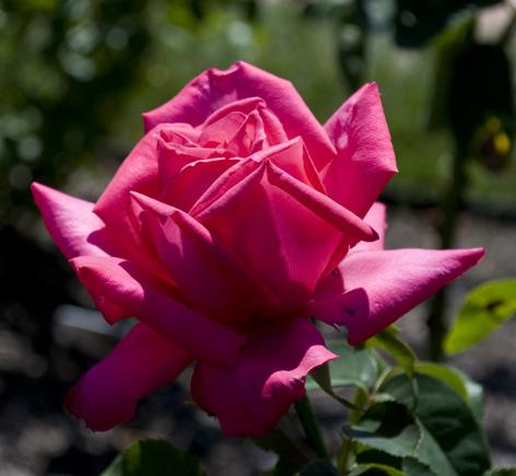 Hot Pink Lady ©2010 Kadira Jennings