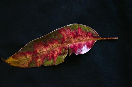 Gum Tree Leaf