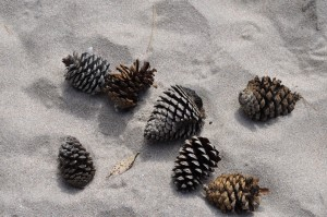 Coromandel,Pine cones in the sand